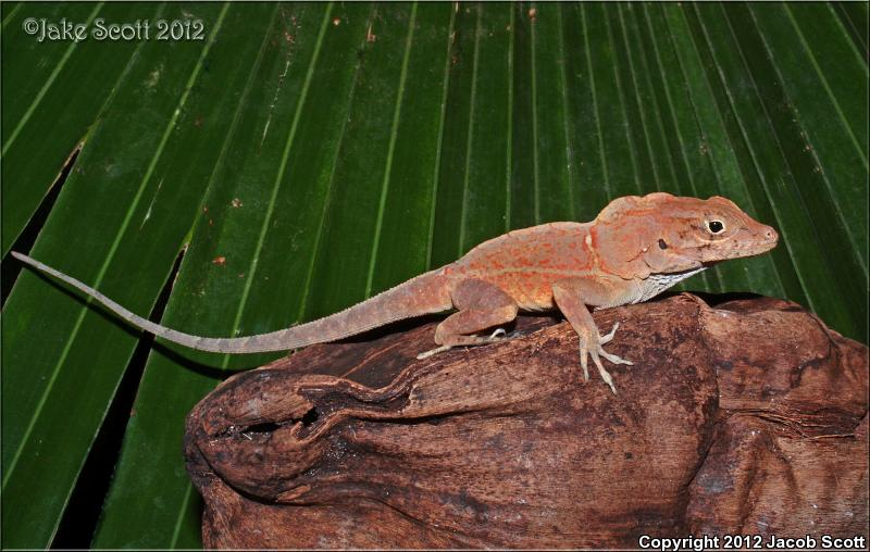 Common Large-headed Anole (Anolis cybotes cybotes)