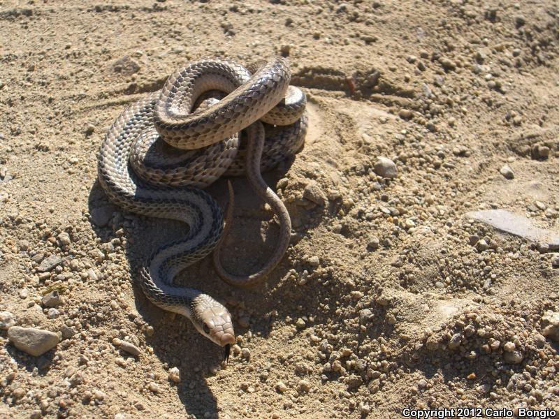 Salvadora Hexalepis Mojavensis Snake Salvadora Hexalepis