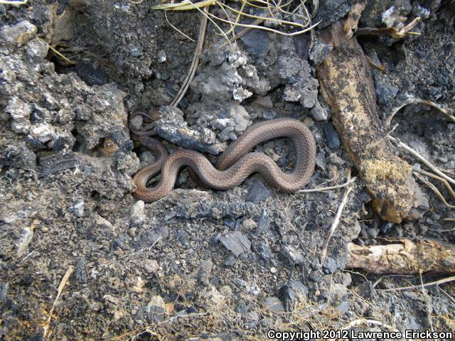 Black Hills Red-bellied Snake (Storeria occipitomaculata pahasapae)