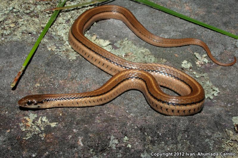 Cope's Mountain Meadow Snake (Adelophis copei)