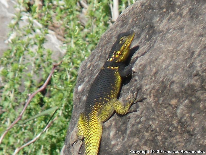 Royal Lesser Minor Lizard ( Sceloporus oberon )