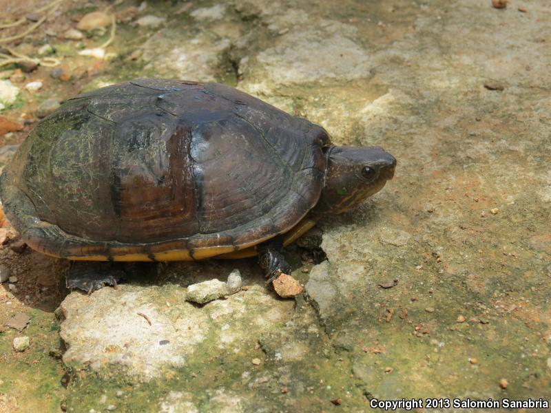 Northern White-lipped Mud Turtle (Kinosternon leucostomum leucostomum)