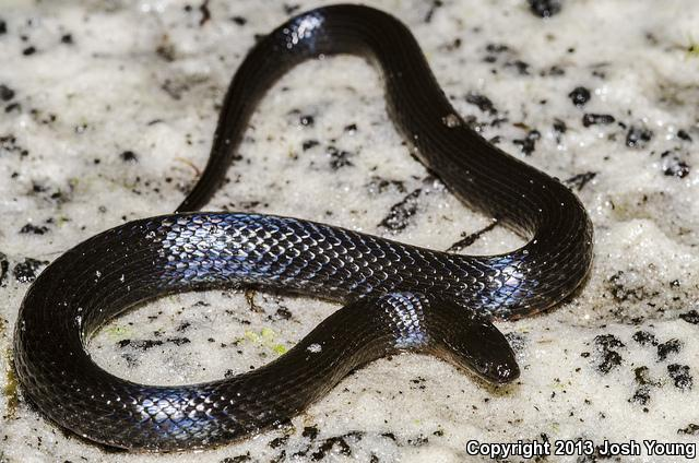 South Florida Swampsnake (Seminatrix pygaea cyclas)