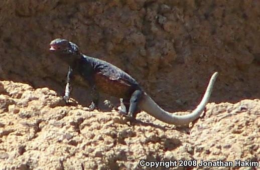 Western Chuckwalla (Sauromalus ater obesus)