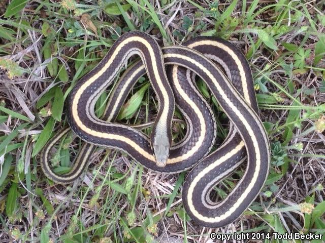 Salvadora Grahamiae Lineata Snake Salvadora Grahamiae