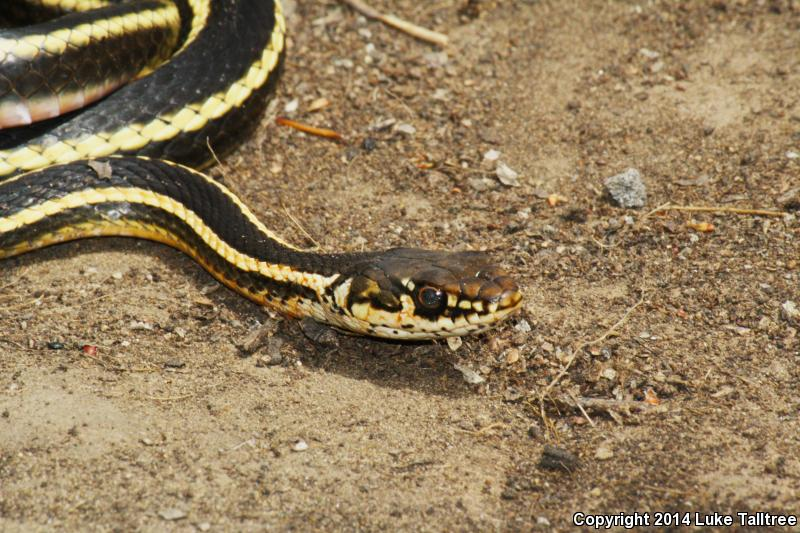 Alameda Striped Racer (Coluber lateralis euryxanthus)