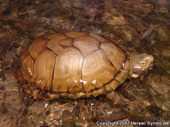 durango mud turtle kinosternon durangoense