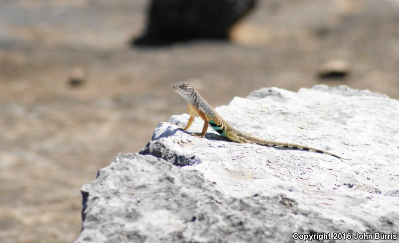 Texas Earless Lizard (Cophosaurus texanus texanus)