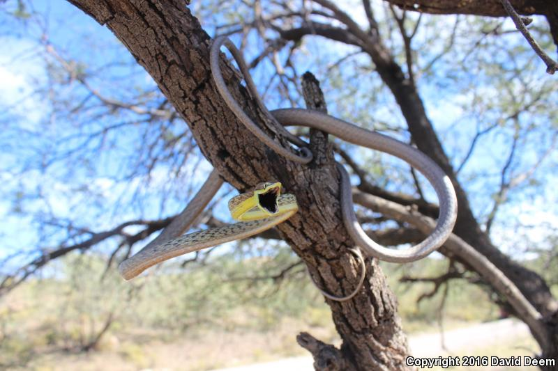 Brown Vinesnake (Oxybelis aeneus)