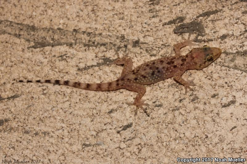 Mediterranean House Gecko Hemidactylus Turcicus