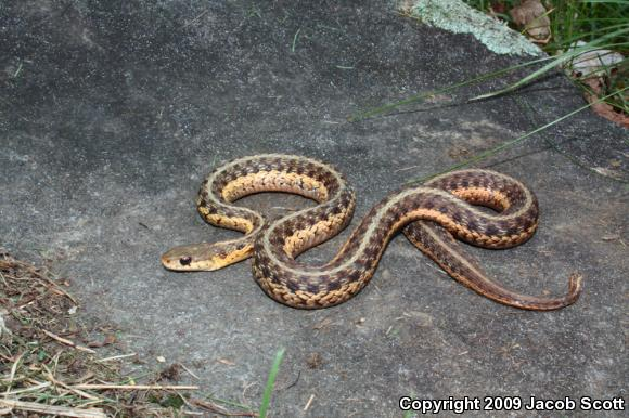 Thamnophis sirtalis 28645-30829