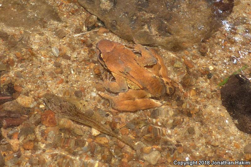 Western Tailed Frog (Ascaphus truei)