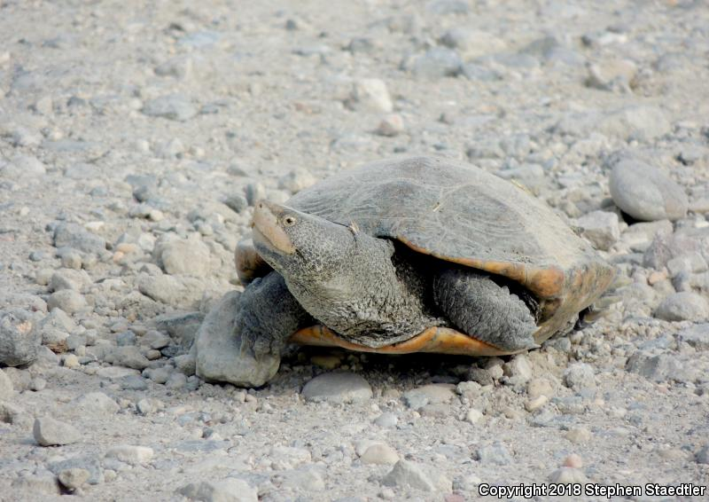 Diamond-backed Terrapin (Malaclemys terrapin)