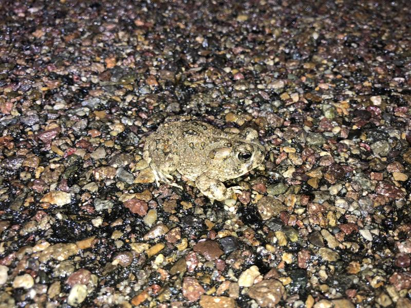 Arroyo Toad (Anaxyrus californicus)