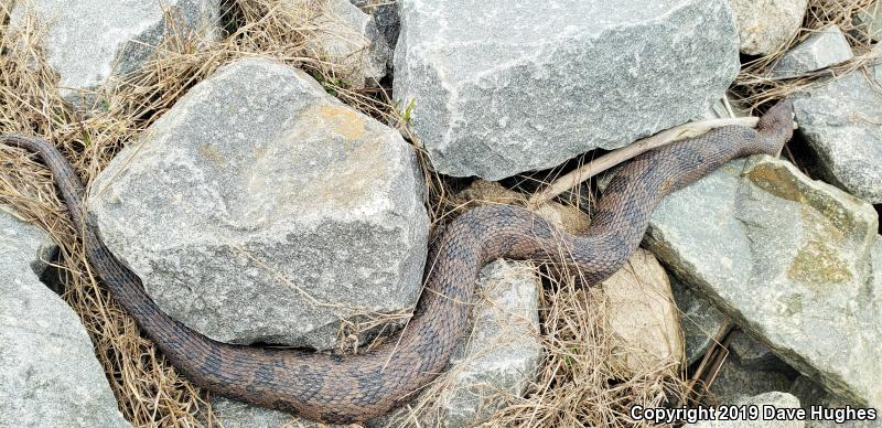 Brown Watersnake (Nerodia taxispilota)