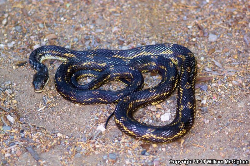 Texas Ratsnake (Pantherophis obsoletus lindheimeri)
