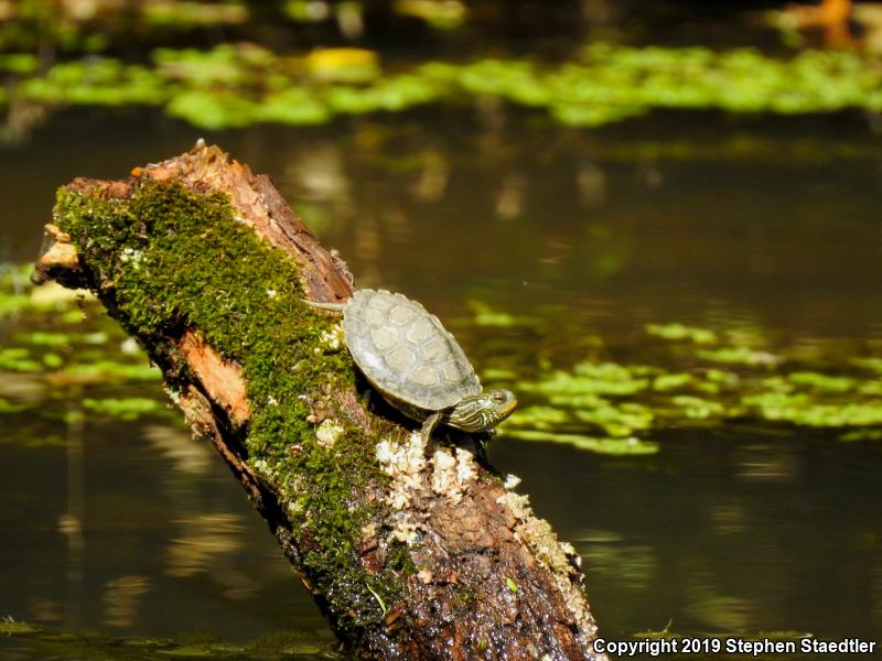 Northern Map Turtle (Graptemys geographica)