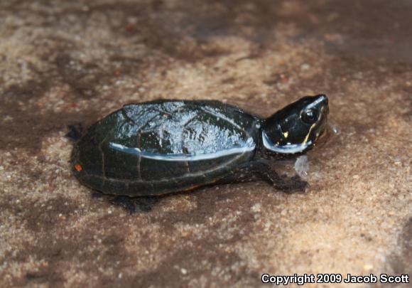 Baby eastern musk turtle