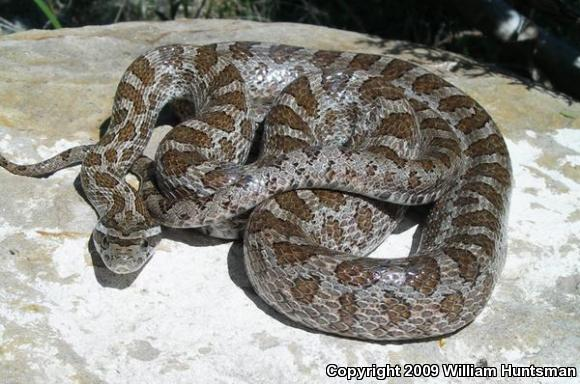 Native_Kansas_Snakes http://www.fieldherpforum.com/forum/viewtopic.php?f=9&t=2625