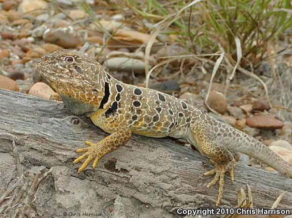 Reticulate Collared Lizard (Crotaphytus reticulatus)