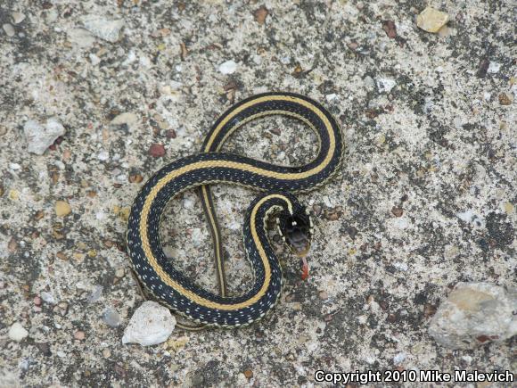 Texas Gartersnake (Thamnophis sirtalis annectens)