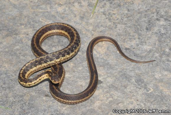 Thamnophis sirtalis 442-648