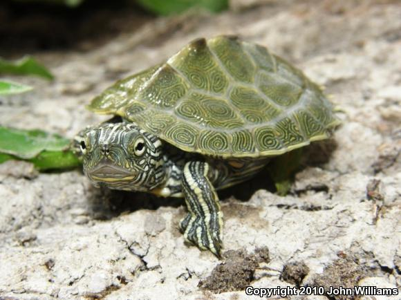 Cagle's Map Turtle (Graptemys caglei)