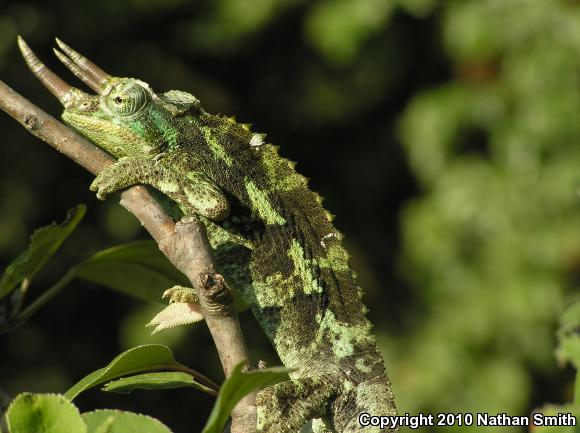 Jackson's Chameleon ( Chamaeleo jacksonii )