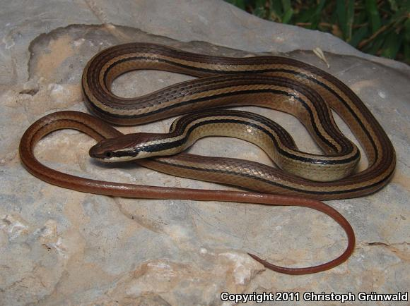 Western Graceful Brownsnake (Rhadinaea hesperia)