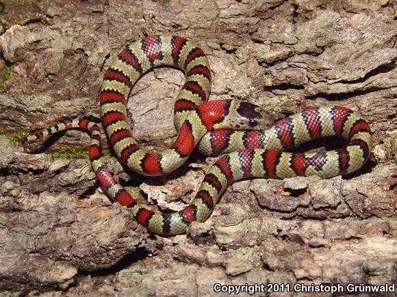 Greer's Mountain Kingsnake (Lampropeltis mexicana greeri)