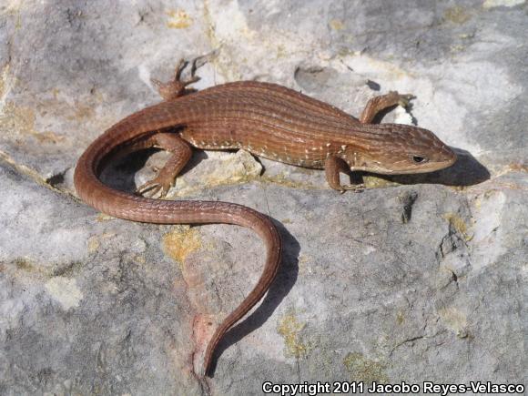 Transvolcanic Alligator Lizard ( Barisia imbricata )