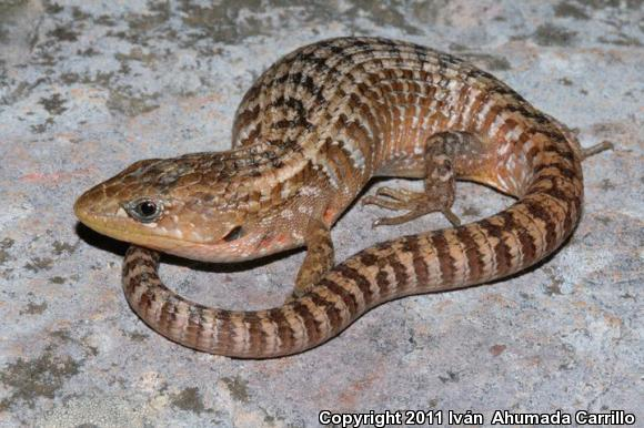 Northern Alligator Lizard (Barisia ciliaris)